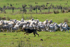 Herding dog. KARIKARI, NZL - SEP 03 2014:Herding dog during Sheep herding.It's a type of dog trained in herding.Their ability to act on the sound of a whistle or stock images