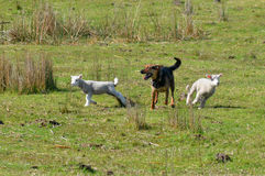 Herding dog Royalty Free Stock Images