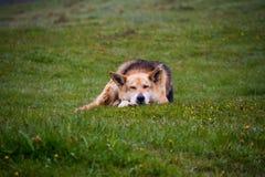 Herding dog. Lie on a hillside spring morning royalty free stock images