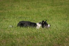 Herding Dog Lies in Grass. At stock dog herding trials royalty free stock image