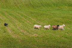 Herding Dog Lines Up Sheep Ovis aries Stock Photos