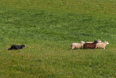 Herding Dog Moves Group of Sheep Ovis aries Right. At sheep dog herding trials stock photo