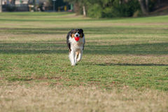 Herding dog playing fetch with toy at park. Australian Shepard dog smiling while carrying ball across grass at park royalty free stock photo