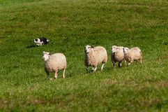 Herding Dog Runs In Four Sheep Ovis aries Royalty Free Stock Photo