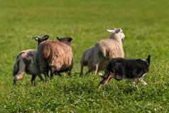 Herding Dog Runs Out Group of Sheep Ovis aries Stock Image