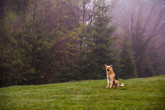 Herding dog. Sit on a hillside spring morning stock photos