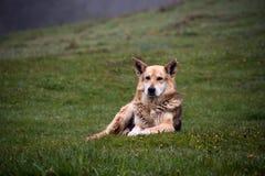 Herding dog. Sit on a hillside spring morning royalty free stock photos