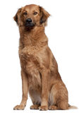 Herding dog sitting. In front of white background royalty free stock images