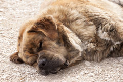 Herding dog sleeping Stock Photo