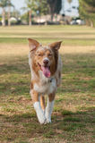 Herding dog smiling at park Stock Photography