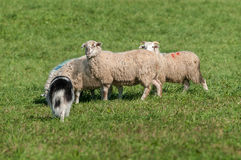 Herding Dog Walks Up on Group of Sheep (Ovis aries) Stock Images