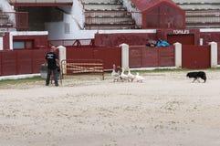 Herding dog working ducks Royalty Free Stock Photo