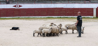 Herding dog working sheep. During a demonstration in Colmenar Viejo, Madrid, Spain on April 25, 2015 royalty free stock image