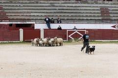 Herding dog working sheep Royalty Free Stock Images