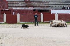Herding dog working sheep Royalty Free Stock Image