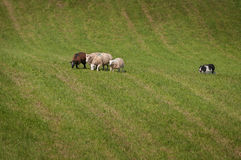 Herding Dog Works Sheep Ovis aries Far Out in Field Royalty Free Stock Image