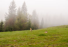 Herding dogs. Lie on a hillside misty spring morning royalty free stock photography