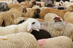 After the herding down of the sheep, Austria. Stock Images