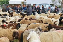 After the herding down of the sheep, Austria. Royalty Free Stock Images