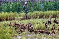 Herding ducks Royalty Free Stock Image