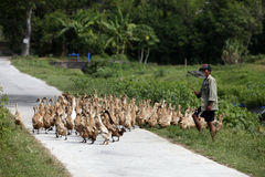 Herding ducks Stock Image