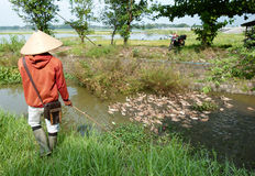 Herding ducks. Farmer herding ducks in a river in Boyolali, Central Java, Indonesia stock image
