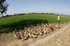 Herding ducks Stock Images