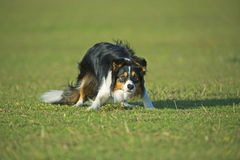 Herding Instinct. My Sheepdog is very fast and intelligent Royalty Free Stock Photos