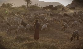 Herding. Rural view of indian girl herding goats for meal royalty free stock photo