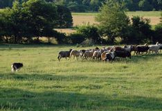 Herding 2 Royalty Free Stock Image