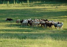 Herding 6. Sable and white working border collie herding a flock of sheep in a pasture in Cumberland County Pennsylvania royalty free stock photo