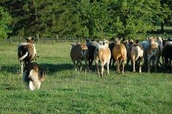 Herding 4 Royalty Free Stock Photo