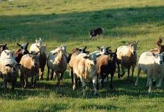 Herding 9 Stock Image