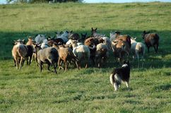 Herding 10 Royalty Free Stock Images
