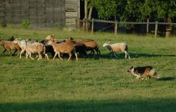 Herding 11. Sable and white working border collie herding sheep in Cumberland County Pennsylvania stock photography