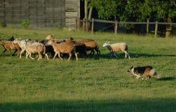 Herding 11 Stock Photography