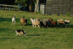 Herding 12 Stock Image