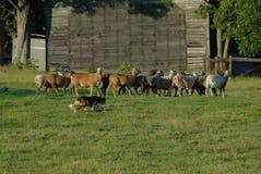 Herding 14 Royalty Free Stock Image