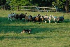 Herding 13 Stock Photos
