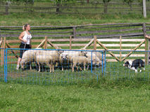 Herding sheep Stock Photography