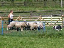 Herding sheep. Woman trains her australian shepherd in herding sheep stock photography