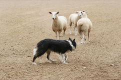 Herding the Sheep. A sheepdog working a few sheep in a dirt field Royalty Free Stock Images