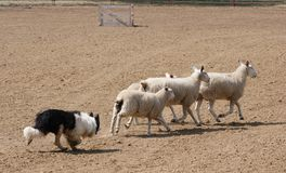 Herding the Sheep. A working sheepdog, hearding the sheep Stock Image