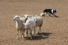 Herding the Sheep. A sheepdog at work, herding his flock (focus on the sheep Royalty Free Stock Photo