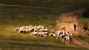 Herding sheep in Bashang grassland Stock Photos