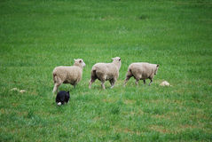 Herding Sheep Royalty Free Stock Photos