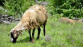 Herding Sheep in Mountains stock video