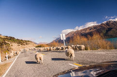 Herding sheep on the road Stock Image