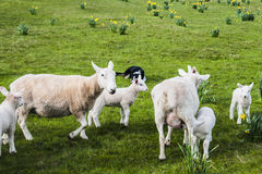 Herding Spring Lambs Royalty Free Stock Photography