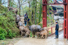 Herding water buffalos in Vietnam Stock Photography